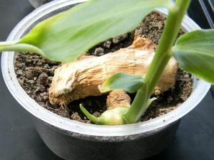 растение имбиря в горшке