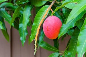дерево манго