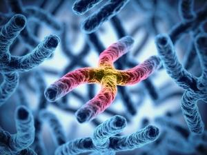 х хромосома