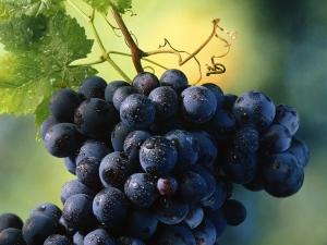 черный виноград на ветке