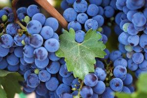 виноград изабелла на ветке