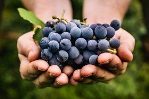 гроздь черного винограда в руках