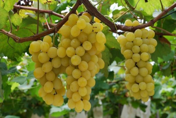 грозди винограда кишмиш на ветке