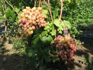 лоза винограда виктор