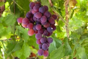 красный виноград лидия