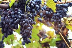 виноградная лоза сорта молдова