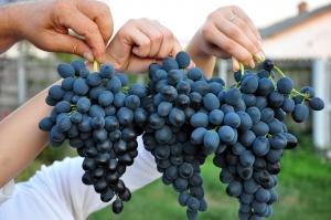 грозди синего винограда