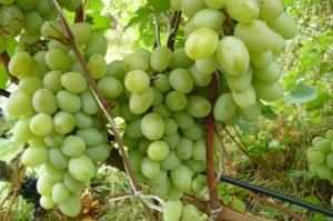 лоза амурского винограда