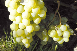 амурский белый виноград