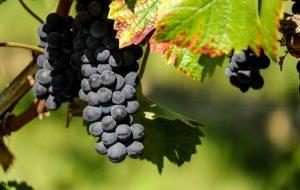 ветка черного винограда