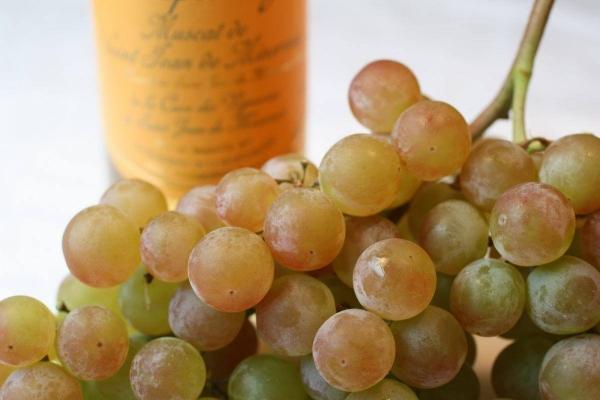 виноград сорта мускат