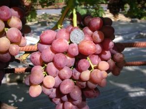 сравнение ягод винограда с монетой