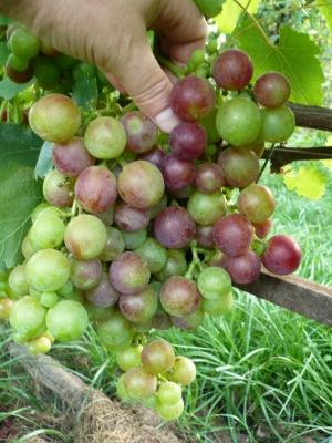не зрелая ветка винограда рошфор