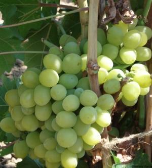 лоза зеленого винограда