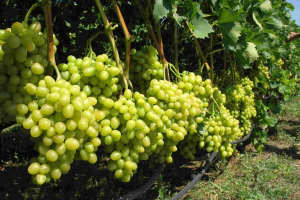 зеленый виноград грозди