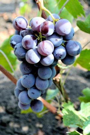 гроздь синего винограда