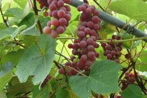 виноградная лоза лидия