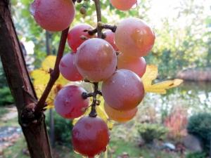 веточка красного винограда