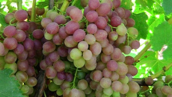 неспелые грозди винограда
