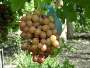 неспелый виноград на кусте