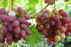 виноград ливия гроздь
