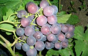 гроздь винограда рошфор