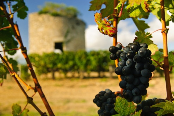 виноград Каберне Франс