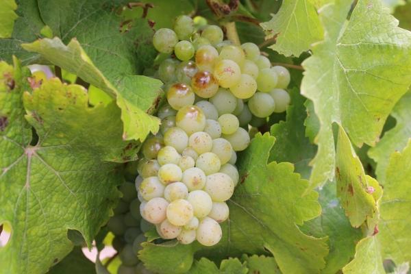 виноград шенен блан