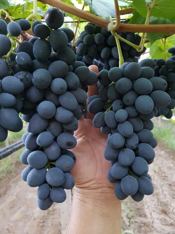 грозди винограда молдова