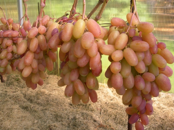 ветки винограда виктор