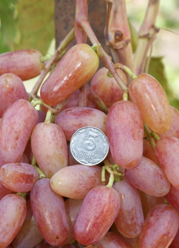ягоды винограда виктор