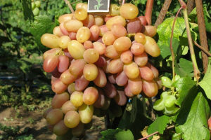 гроздь винограда виктор