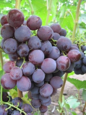 виноград рошфор на ветке