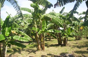 плантация бананов