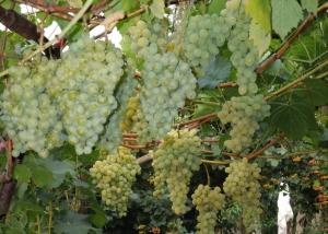много винограда на ветках
