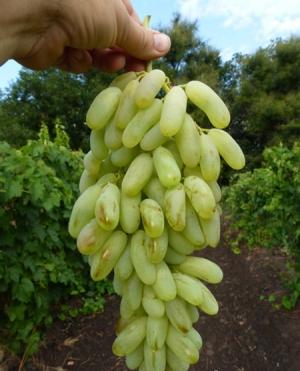 гроздь зеленого винограда в руке