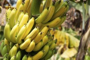 спелые бананы на дереве