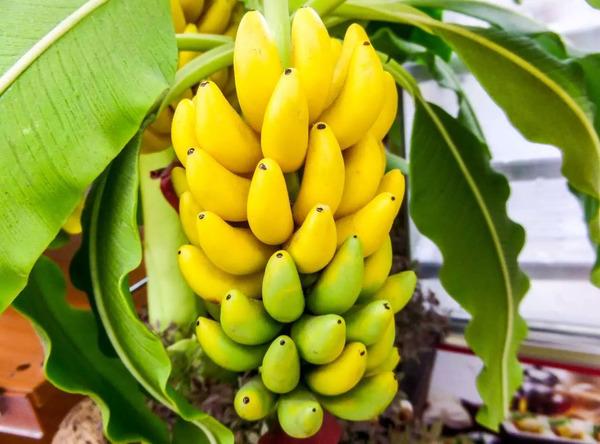 зеленые и желтые бананы на ветке