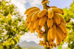 желтые бананы на ветке