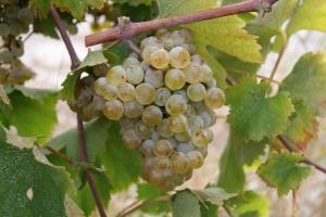 ветка белого винограда
