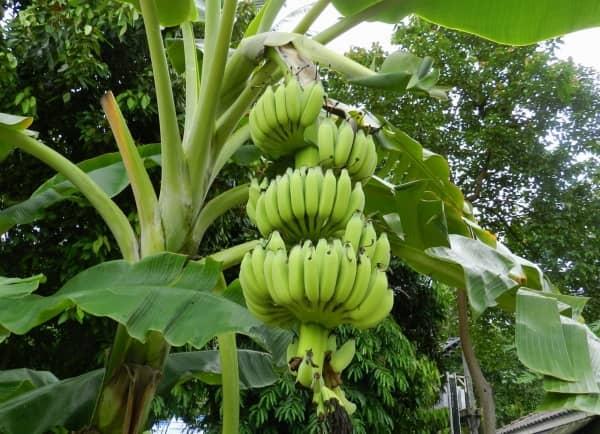 зеленые бананы и куст