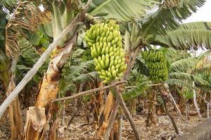 картинки как растут бананы