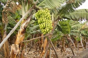 куст с бананами