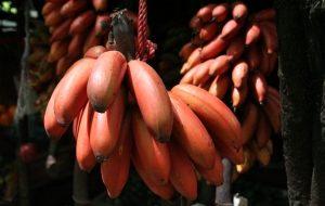 красные бананы на ветке
