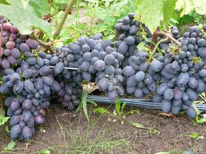 виноградная лоза с гроздьями ягод