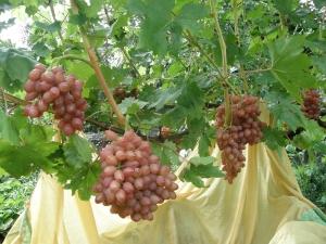 виноград лучистый лоза