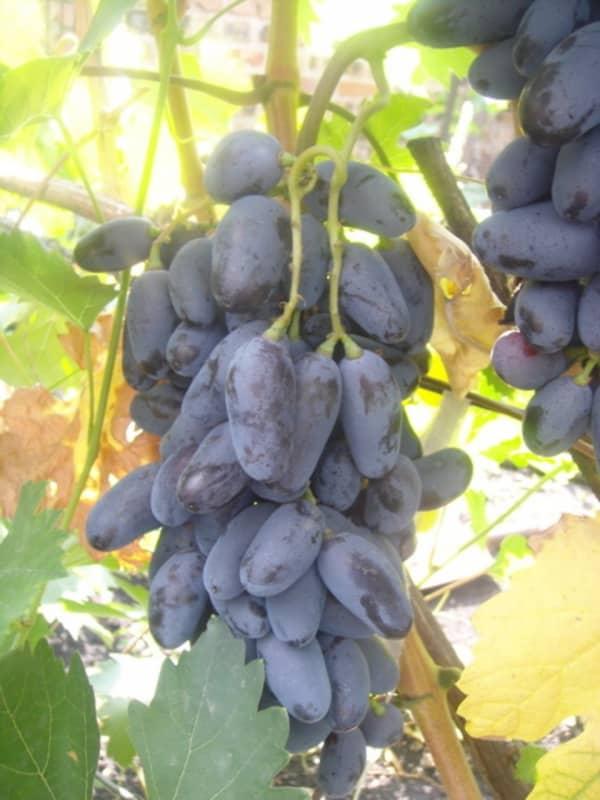 гроздь синего винограда байконур
