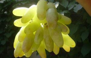 зеленый виноград дамские пальчики