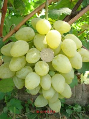 виноград зеленый монарх