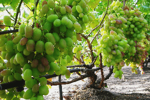 зеленый виноград на кусте